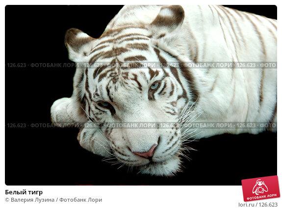 Белый тигр, фото № 126623, снято 31 июля 2007 г. (c) Валерия Потапова / Фотобанк Лори