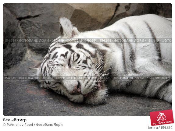 Белый тигр, фото № 154619, снято 11 декабря 2007 г. (c) Parmenov Pavel / Фотобанк Лори