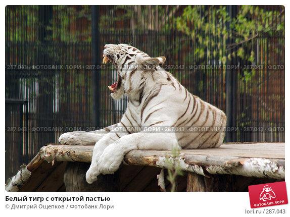 Белый тигр с открытой пастью, фото № 287043, снято 11 мая 2008 г. (c) Дмитрий Ощепков / Фотобанк Лори