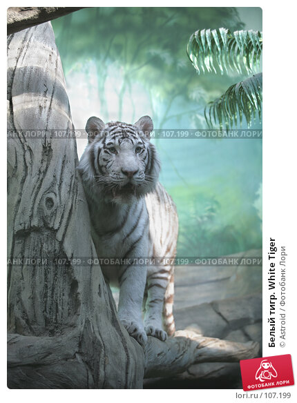 Купить «Белый тигр. White Tiger», фото № 107199, снято 16 марта 2007 г. (c) Astroid / Фотобанк Лори