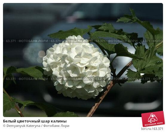 Белый цветочный шар калины, фото № 63371, снято 20 апреля 2007 г. (c) Demyanyuk Kateryna / Фотобанк Лори