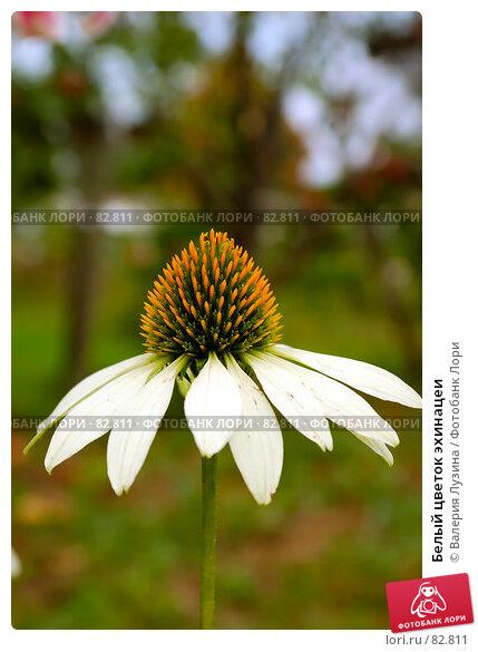 Белый цветок эхинацеи, фото № 82811, снято 29 августа 2007 г. (c) Валерия Потапова / Фотобанк Лори