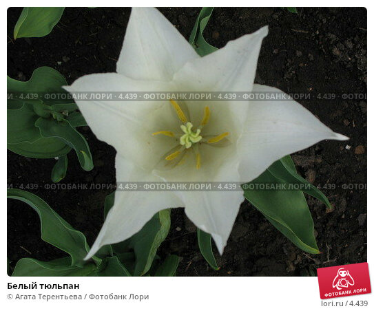 Белый тюльпан, фото № 4439, снято 21 мая 2006 г. (c) Агата Терентьева / Фотобанк Лори