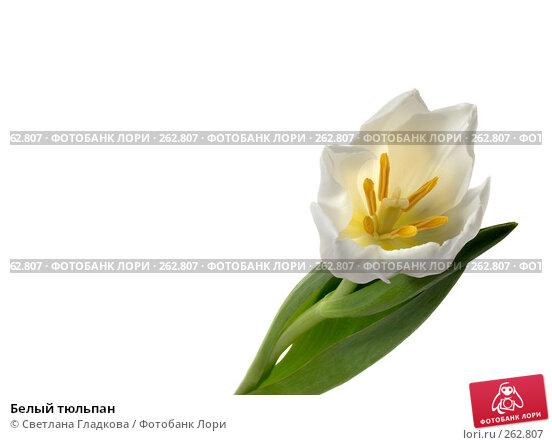 Белый тюльпан, фото № 262807, снято 12 января 2008 г. (c) Cветлана Гладкова / Фотобанк Лори