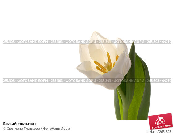 Белый тюльпан, фото № 265303, снято 12 января 2008 г. (c) Cветлана Гладкова / Фотобанк Лори