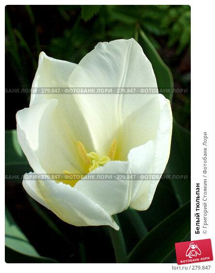 Белый тюльпан, фото № 279847, снято 20 января 2007 г. (c) Григорий Стоякин / Фотобанк Лори