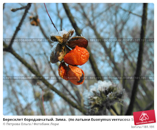Бересклет бородавчатый. Зима.  (по латыни Euonymus verrucosa Scop), фото № 181191, снято 2 января 2008 г. (c) Петрова Ольга / Фотобанк Лори