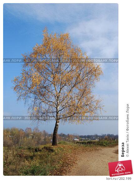 Купить «Береза», эксклюзивное фото № 202199, снято 28 октября 2007 г. (c) Alexei Tavix / Фотобанк Лори