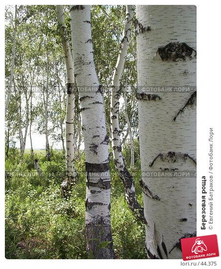 Купить «Березовая роща», фото № 44375, снято 5 июля 2003 г. (c) Евгений Батраков / Фотобанк Лори