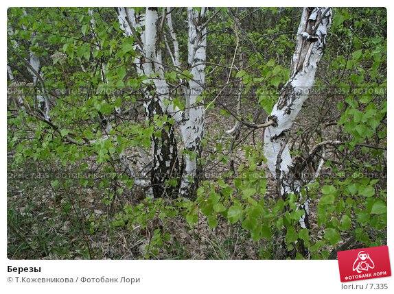 Купить «Березы», фото № 7335, снято 25 апреля 2018 г. (c) Т.Кожевникова / Фотобанк Лори