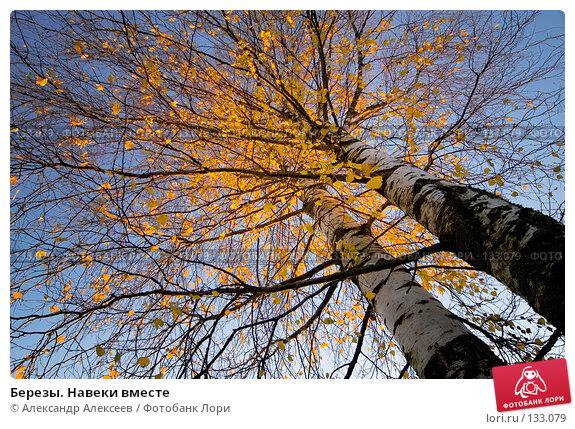 Березы. Навеки вместе, эксклюзивное фото № 133079, снято 21 октября 2007 г. (c) Александр Алексеев / Фотобанк Лори