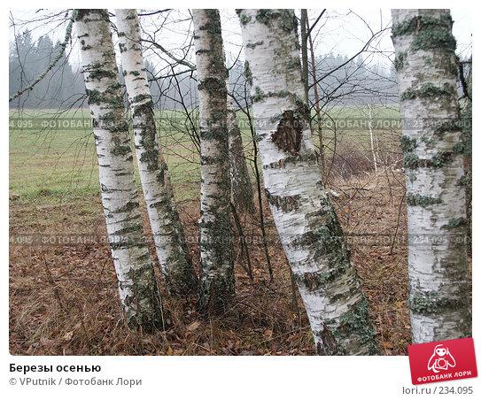 Купить «Березы осенью», фото № 234095, снято 5 ноября 2004 г. (c) VPutnik / Фотобанк Лори