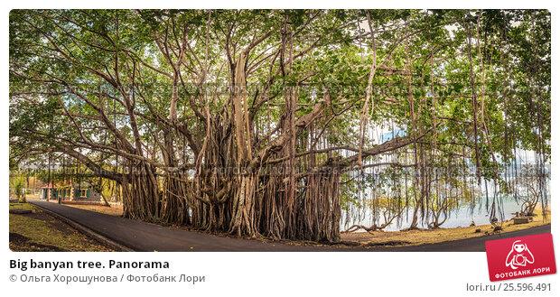 Купить «Big banyan tree. Panorama», фото № 25596491, снято 11 ноября 2016 г. (c) Ольга Хорошунова / Фотобанк Лори
