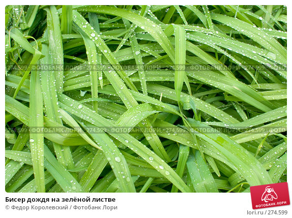 Бисер дождя на зелёной листве, фото № 274599, снято 6 мая 2008 г. (c) Федор Королевский / Фотобанк Лори