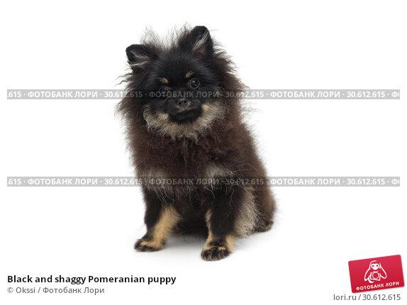 Купить «Black and shaggy Pomeranian puppy», фото № 30612615, снято 10 апреля 2019 г. (c) Okssi / Фотобанк Лори