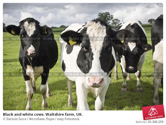 Black and white cows. Waltshire farm, UK. Стоковое фото, фотограф Dariusz Gora / easy Fotostock / Фотобанк Лори