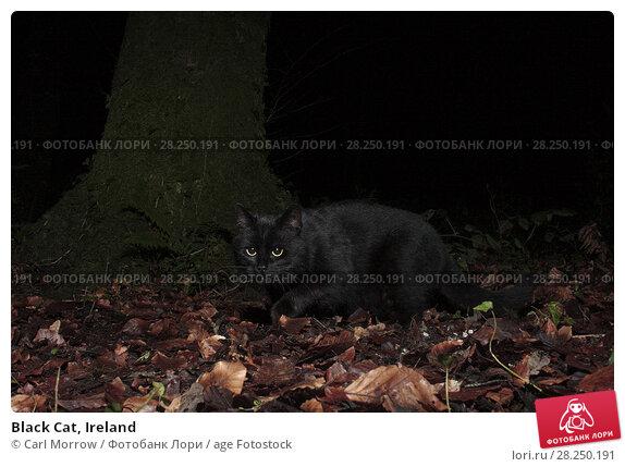 Купить «Black Cat, Ireland», фото № 28250191, снято 17 января 2017 г. (c) age Fotostock / Фотобанк Лори