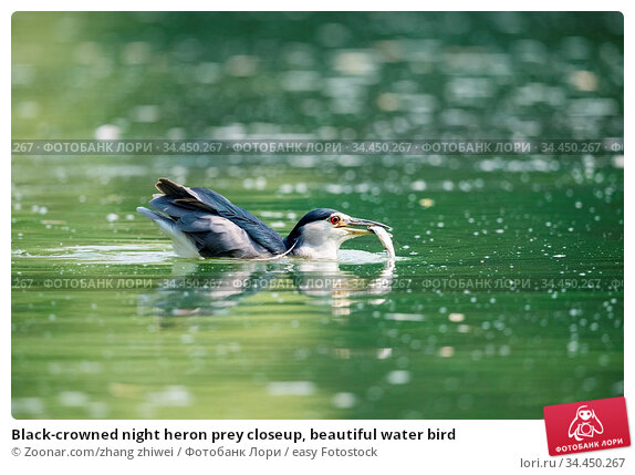 Black-crowned night heron prey closeup, beautiful water bird. Стоковое фото, фотограф Zoonar.com/zhang zhiwei / easy Fotostock / Фотобанк Лори
