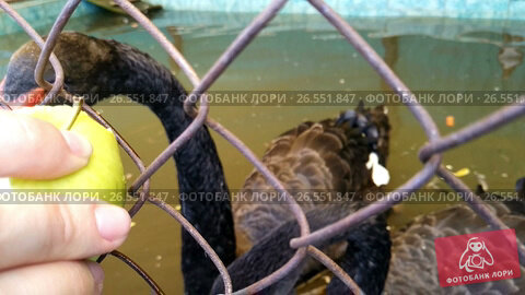 black swan eating apple, видеоролик № 26551847, снято 16 июня 2017 г. (c) Jan Jack Russo Media / Фотобанк Лори