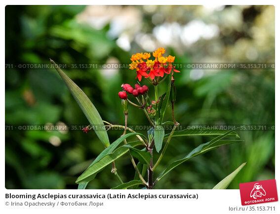 Blooming Asclepias curassavica (Latin Asclepias curassavica) Стоковое фото, фотограф Irina Opachevsky / Фотобанк Лори