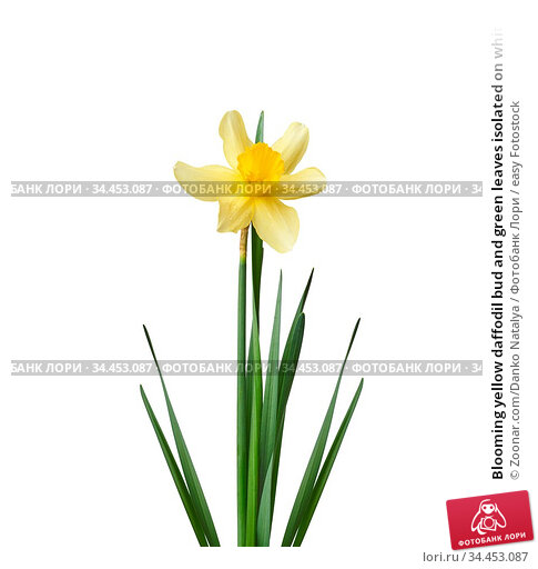Blooming yellow daffodil bud and green leaves isolated on white background... Стоковое фото, фотограф Zoonar.com/Danko Natalya / easy Fotostock / Фотобанк Лори