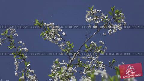 Купить «blossoming bird-cherry tree bunch with white flowers and green leaves in a sunny spring day amid blue sky, insects fly around flowers,Shot in 4K UHD», видеоролик № 33711395, снято 17 мая 2009 г. (c) Куликов Константин / Фотобанк Лори