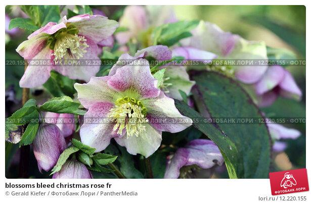 Купить «blossoms bleed christmas rose fr», фото № 12220155, снято 19 апреля 2019 г. (c) PantherMedia / Фотобанк Лори