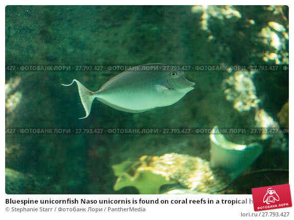 Купить «Bluespine unicornfish Naso unicornis is found on coral reefs in a tropical habitat of the ocean.», фото № 27793427, снято 23 апреля 2019 г. (c) PantherMedia / Фотобанк Лори