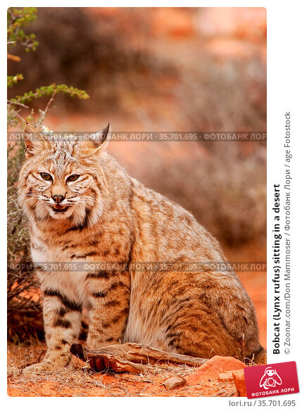 Bobcat (Lynx rufus) sitting in a desert. Стоковое фото, фотограф Zoonar.com/Don Mammoser / age Fotostock / Фотобанк Лори