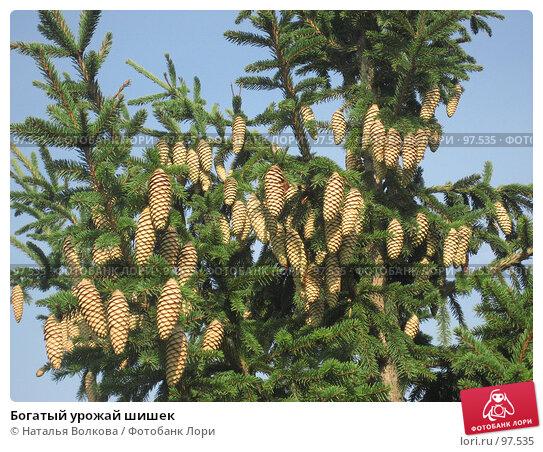 Богатый урожай шишек, эксклюзивное фото № 97535, снято 28 сентября 2007 г. (c) Наталья Волкова / Фотобанк Лори