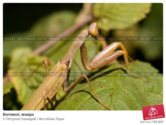 Купить «Богомол, макро», фото № 169847, снято 12 августа 2007 г. (c) Петухов Геннадий / Фотобанк Лори