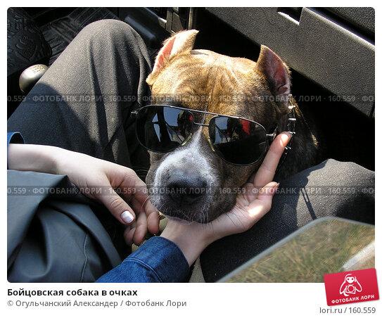Бойцовская собака в очках, фото № 160559, снято 29 апреля 2017 г. (c) Огульчанский Александер / Фотобанк Лори
