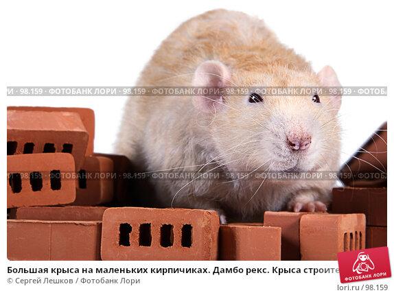 Большая крыса на маленьких кирпичиках. Дамбо рекс. Крыса строитель. Крупный план., фото № 98159, снято 28 мая 2017 г. (c) Сергей Лешков / Фотобанк Лори