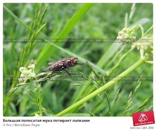 Большая полосатая муха потирает лапками, фото № 281359, снято 13 июня 2005 г. (c) Fro / Фотобанк Лори