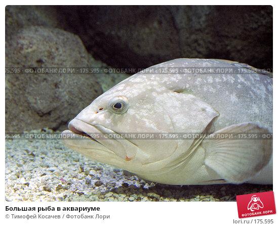 Купить «Большая рыба в аквариуме», фото № 175595, снято 25 марта 2018 г. (c) Тимофей Косачев / Фотобанк Лори