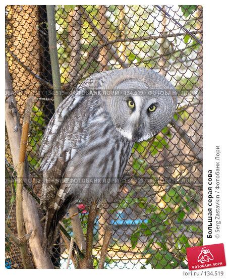 Большая серая сова, фото № 134519, снято 10 октября 2004 г. (c) Serg Zastavkin / Фотобанк Лори