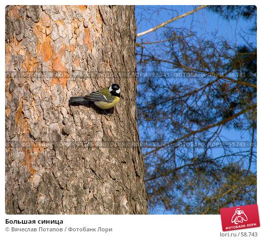 Большая синица, фото № 58743, снято 24 февраля 2007 г. (c) Вячеслав Потапов / Фотобанк Лори