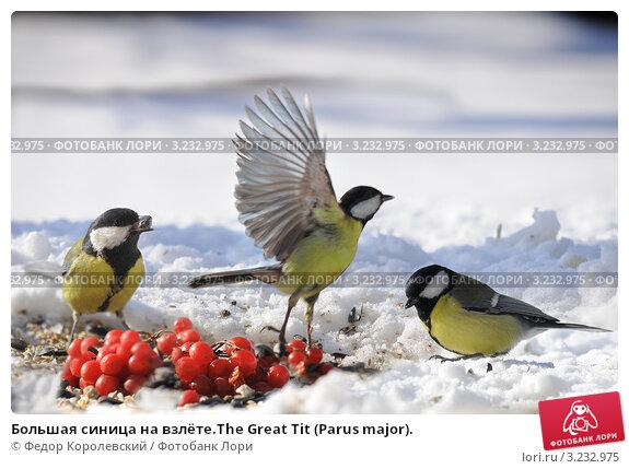 Купить «Большая синица на взлёте.The Great Tit (Parus major).», фото № 3232975, снято 6 февраля 2012 г. (c) Федор Королевский / Фотобанк Лори