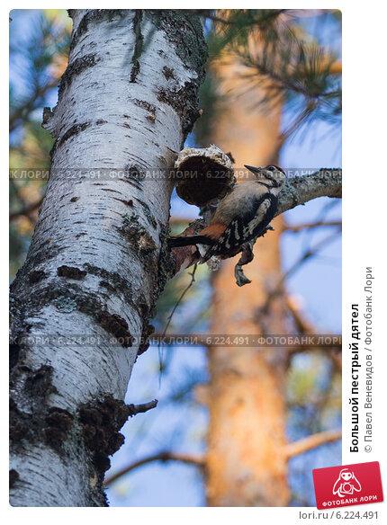 Большой пестрый дятел. Стоковое фото, фотограф Павел Веневидов / Фотобанк Лори