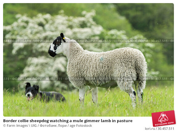 Border collie sheepdog watching a mule gimmer lamb in pasture. Стоковое фото, фотограф Farm Images \ UIG / age Fotostock / Фотобанк Лори