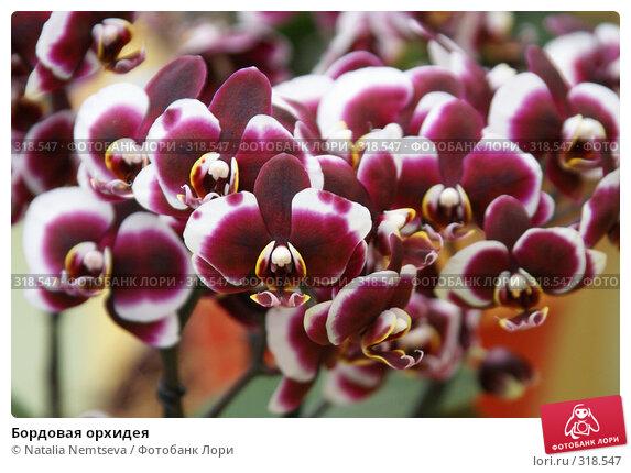 Бордовая орхидея, эксклюзивное фото № 318547, снято 8 апреля 2008 г. (c) Natalia Nemtseva / Фотобанк Лори