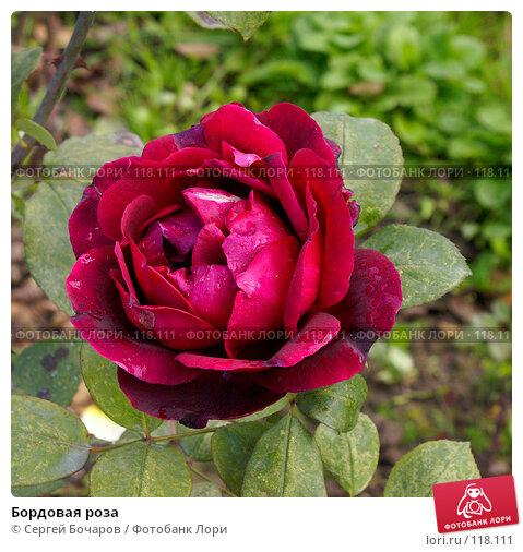 Купить «Бордовая роза», фото № 118111, снято 29 сентября 2007 г. (c) Сергей Бочаров / Фотобанк Лори