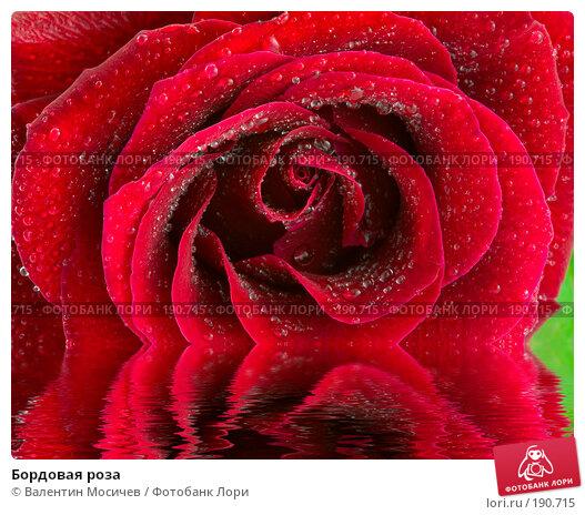 Бордовая роза, фото № 190715, снято 3 марта 2007 г. (c) Валентин Мосичев / Фотобанк Лори