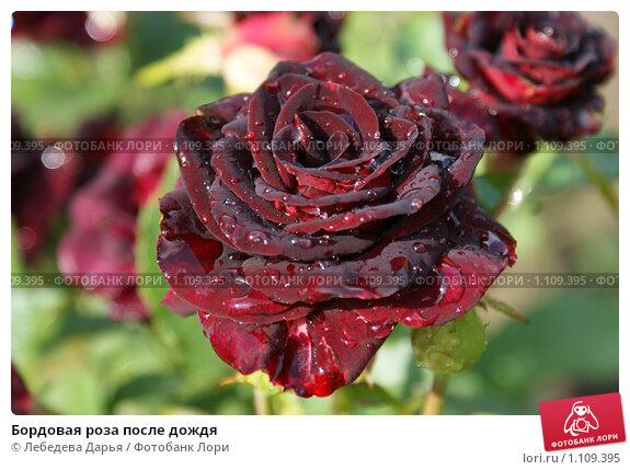 Купить «Бордовая роза после дождя», фото № 1109395, снято 14 августа 2009 г. (c) Лебедева Дарья / Фотобанк Лори