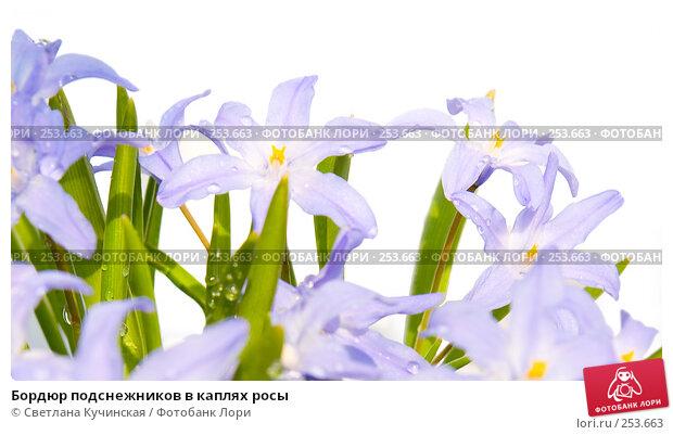 Бордюр подснежников в каплях росы, фото № 253663, снято 22 мая 2017 г. (c) Светлана Кучинская / Фотобанк Лори