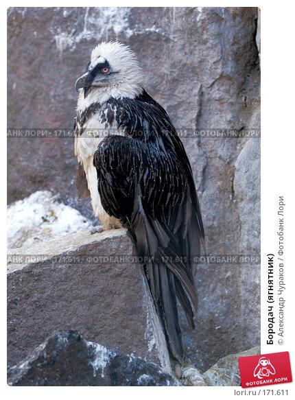 Бородач (ягнятник), фото № 171611, снято 1 января 2008 г. (c) Александр Чураков / Фотобанк Лори