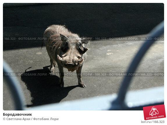 Бородавочник, фото № 166323, снято 11 июня 2007 г. (c) Светлана Архи / Фотобанк Лори