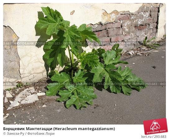 Борщевик Мантегацци (Нeracleum mantegazzianum), фото № 293683, снято 17 мая 2008 г. (c) Заноза-Ру / Фотобанк Лори