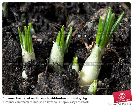 Botanischer, Krokus, Ist ein Frühblueher und ist giftig. Стоковое фото, фотограф Zoonar.com/Manfred Ruckszio / easy Fotostock / Фотобанк Лори