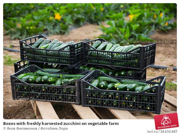 Boxes with freshly harvested zucchini on vegetable farm. Стоковое фото, фотограф Яков Филимонов / Фотобанк Лори